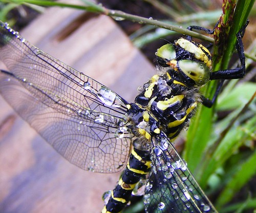 Dragonfly at Glengorm castle by Calum Hall Tobermory