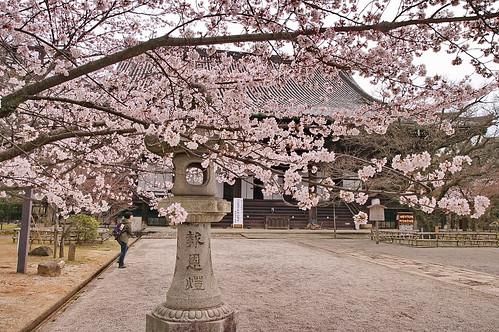 【写真】桜 : 真如堂