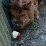 Big Pig and Apple at Lochmara Lodge, New Zealand