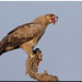 Tawny Eagle (Aquila rapax) preying on a Spiny-tailed Lizard by birdsforlife