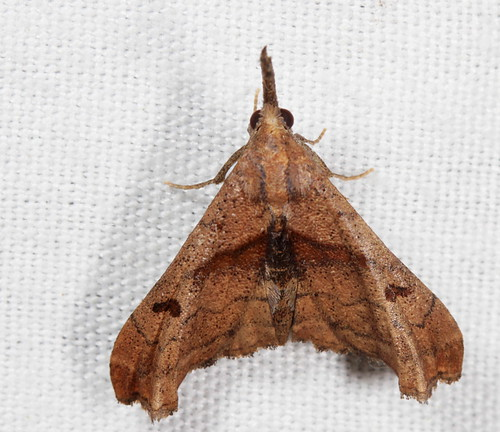 macro canon insect nc moth july northcarolina lepidoptera fieldtrip herminiinae palthisangulalis usm 60mm efs f28 coastalplain eol bmna erebidae palthis darkspottedpalthis medocmountain taxonomy:binomial=palthisangulalis medoc20130710