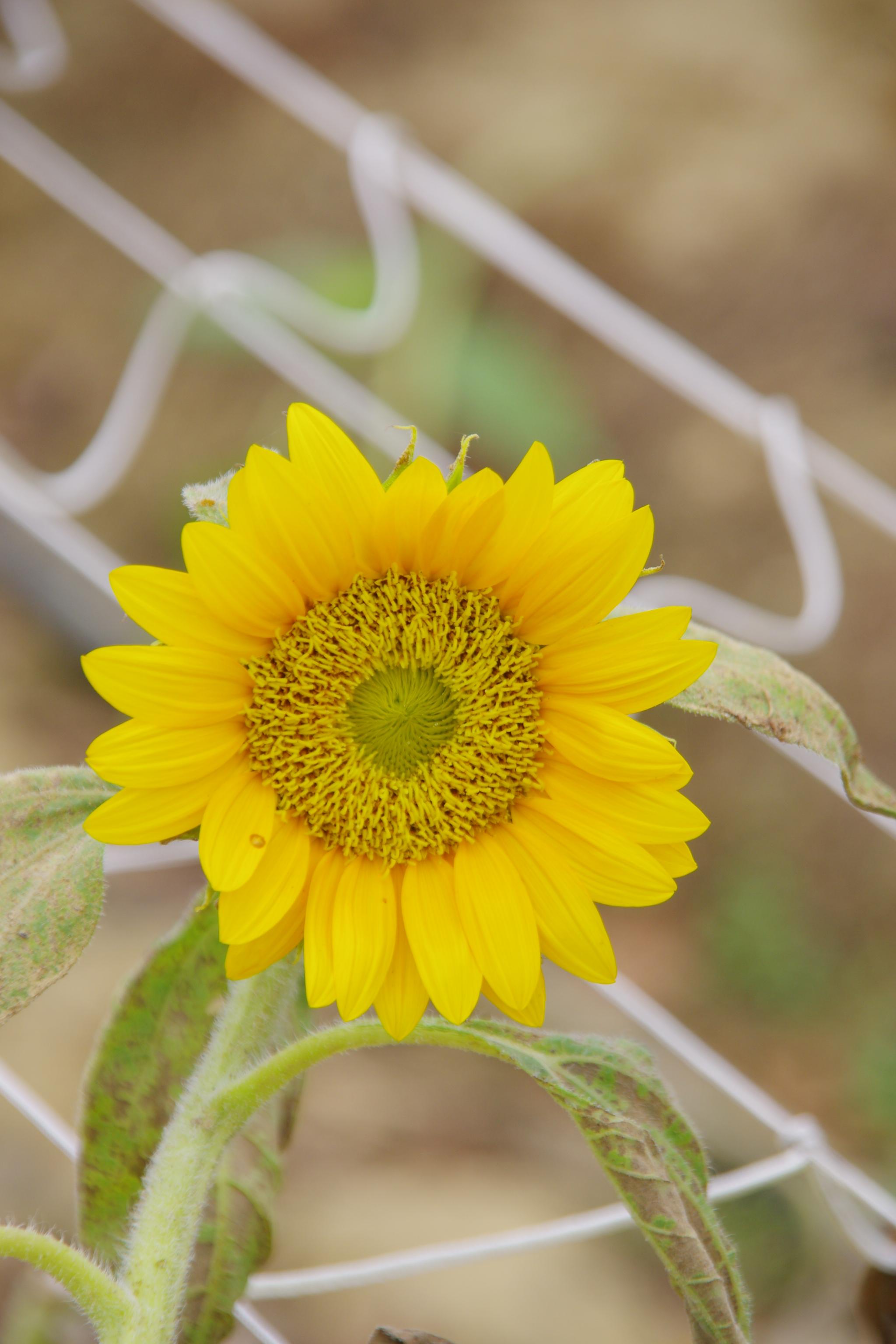 觀音 賞蓮 向日葵 --新手練習貼圖