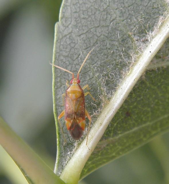 Pseudoloxops coccineus