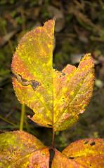 Siege Leaf