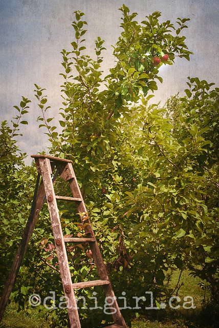 Ladder in the orchard