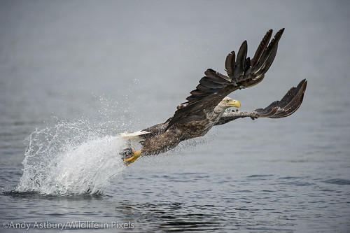 White-tailed Eagle hunting