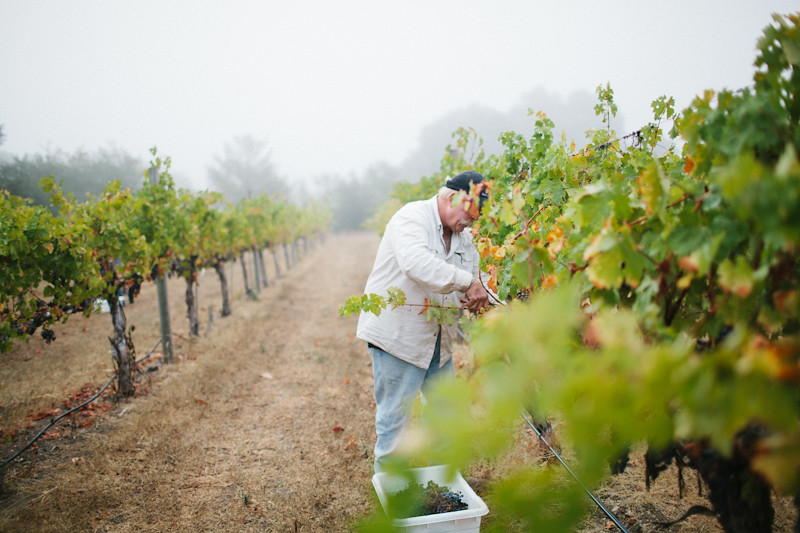 Picking (Wine) Grapes in Healdsburg