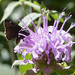 Small photo of Skipper. Hesperiidae