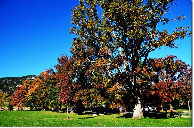 Oak(橡、櫟) in Fall, Chautauqua, Boulder 9