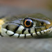 Barred Grass Snake - Photo (c) Alexandre Roux, some rights reserved (CC BY-NC-SA)