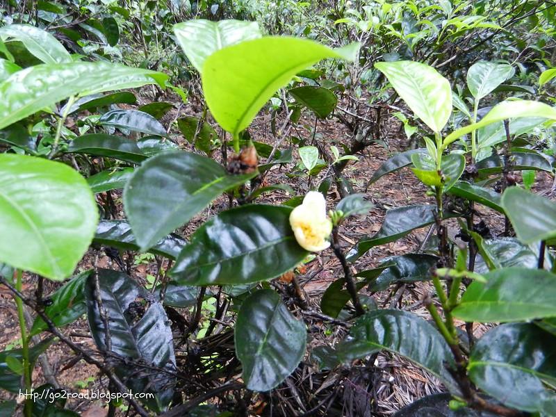 Шри Ланка. Кусты чая