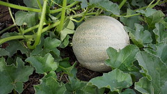 flower(0.0), figleaf gourd(0.0), winter melon(0.0), cucurbita(0.0), vegetable(1.0), plant(1.0), produce(1.0), fruit(1.0), food(1.0), muskmelon(1.0), melon(1.0),
