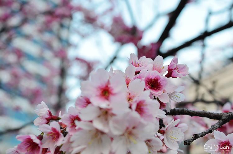 松智公園寒櫻05.jpg