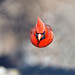 Male Cardinal In Flight by Brian E Kushner