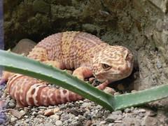 Mischievous Gecko
