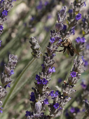 CarpenterBee_on_Lavender_2332a