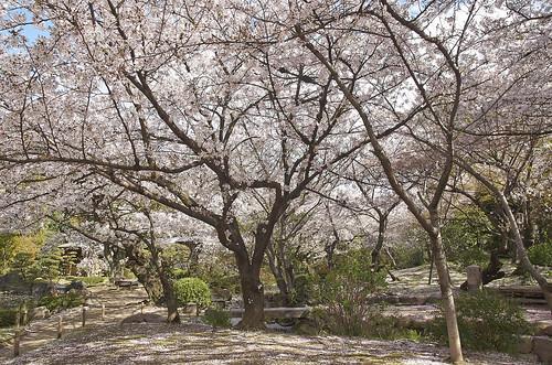 【写真】桜 : 四天王寺