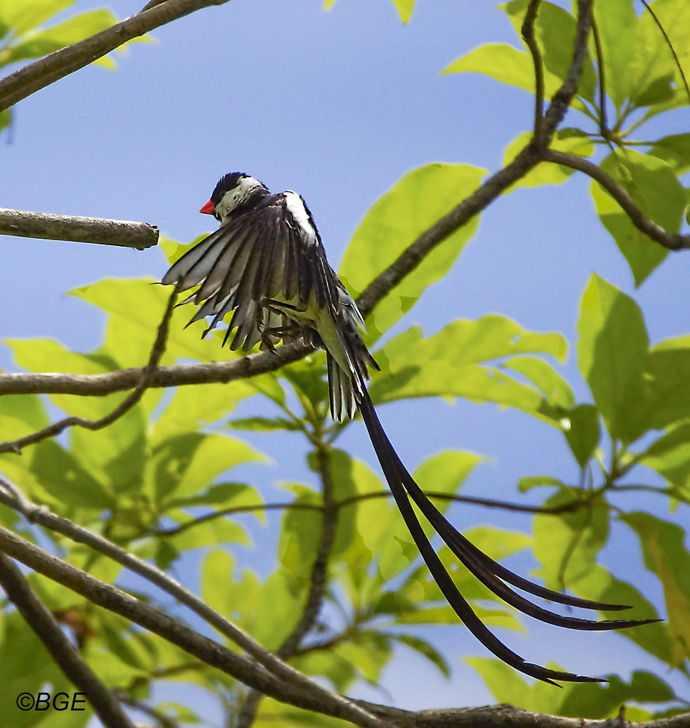 Pin Tailed Whydah Bird