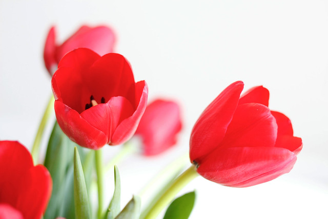 red-tulips-02