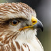 Falconry (1 of 7) by Colm Hoare