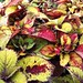 Small photo of Coleus Honey Crisp