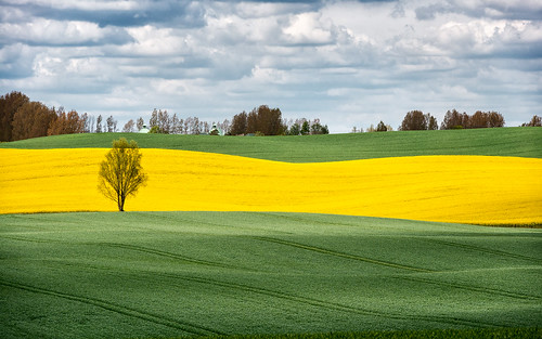 flowers yellow skåne spring day cloudy sweden rape bara canola rapeseed 2014 skånecounty