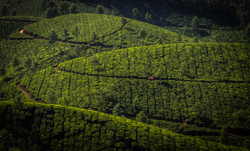 trees india tea kerala munnar