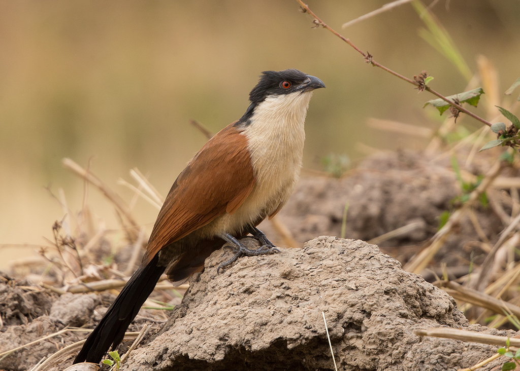 Senegal Coucal   Gambia
