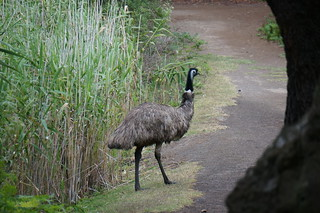 An emu that walked in front of us for a while