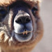 Small photo of Alpaca