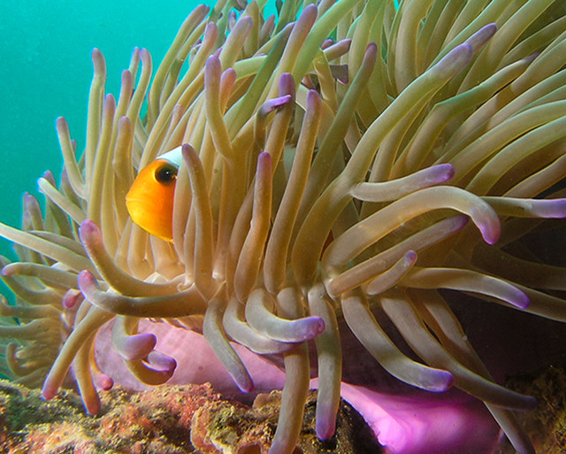Clownfish_Tioman Island_Salang.jpg