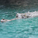 Small photo of Gharial Swimming in Blue Water