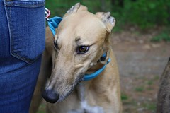 Greyhound Adventures at Hopkinton State Park, Hopkinton MA, May 22nd 2016