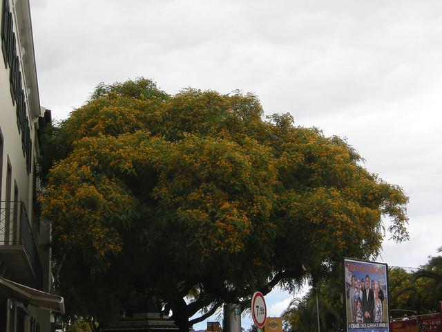 Tipuana puu, Nikon COOLPIX P5000