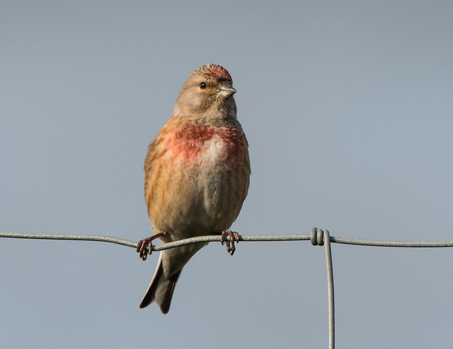 Linnet this evening