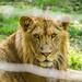 Lion Cub by Dr. Ilia