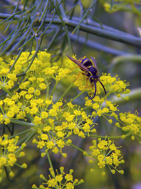 bee on a yellow dill-like flower