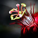 Passionflower by Brody J