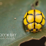 Ladybird (Coccinellidae) - DSC_2990