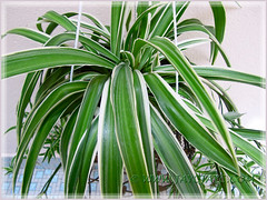 Chlorophytum comosum 'Variegatum' (White/White-edged Spider Plant, Variegated Spider Ivy, Ribbon/Airplane Plant)