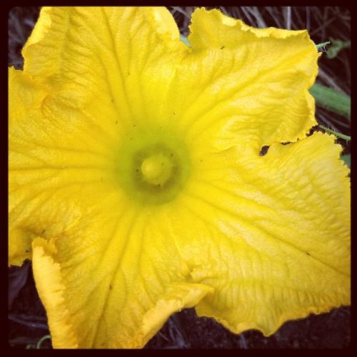 南瓜、今年も豊作の模様