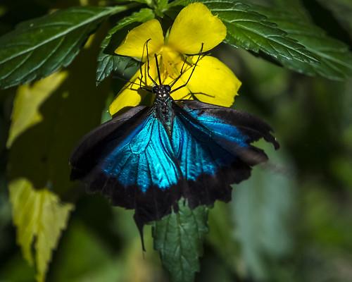 Ulysses Butterfly (Princeps Ulysses joesa)