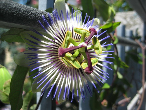 Passiflora Caerluea