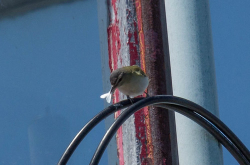 Red-eyed Vireo on lighthouse at Machias Seal Island