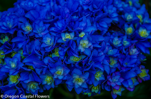double flowering hydrangeas flowers