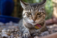 animal, tabby cat, small to medium-sized cats, pet, mammal, pixie-bob, fauna, close-up, cat, wild cat, whiskers, bobcat, domestic short-haired cat,
