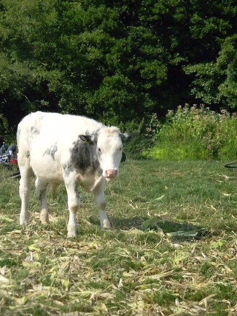 Calf by the the Ouse