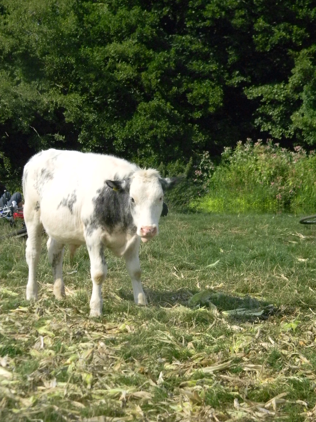 Calf by the the Ouse Uckfield to Lewes