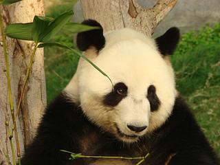 111 Reuze panda zit te eten