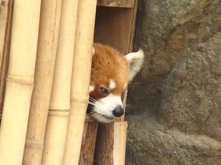 075 Kleine panda